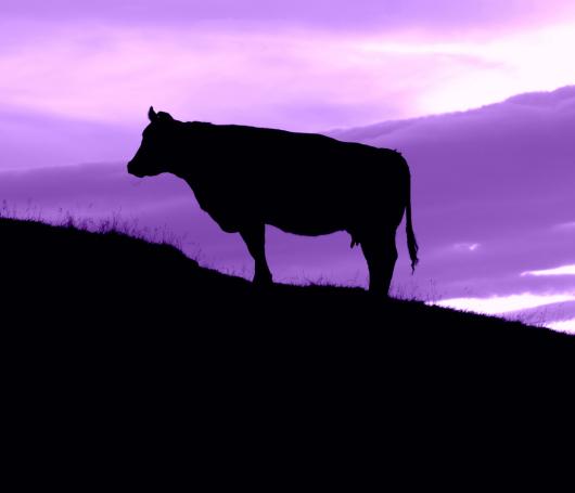 Stier vor violettem Himmel