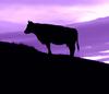 Stier vor violett Himmel